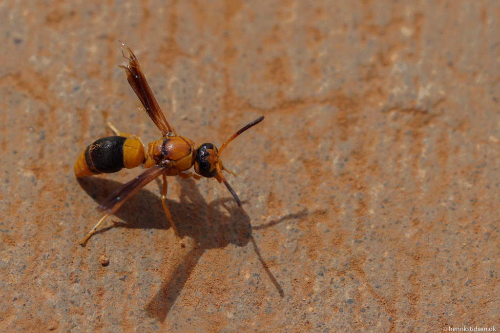 An ordinary, large, dessert wasp.
