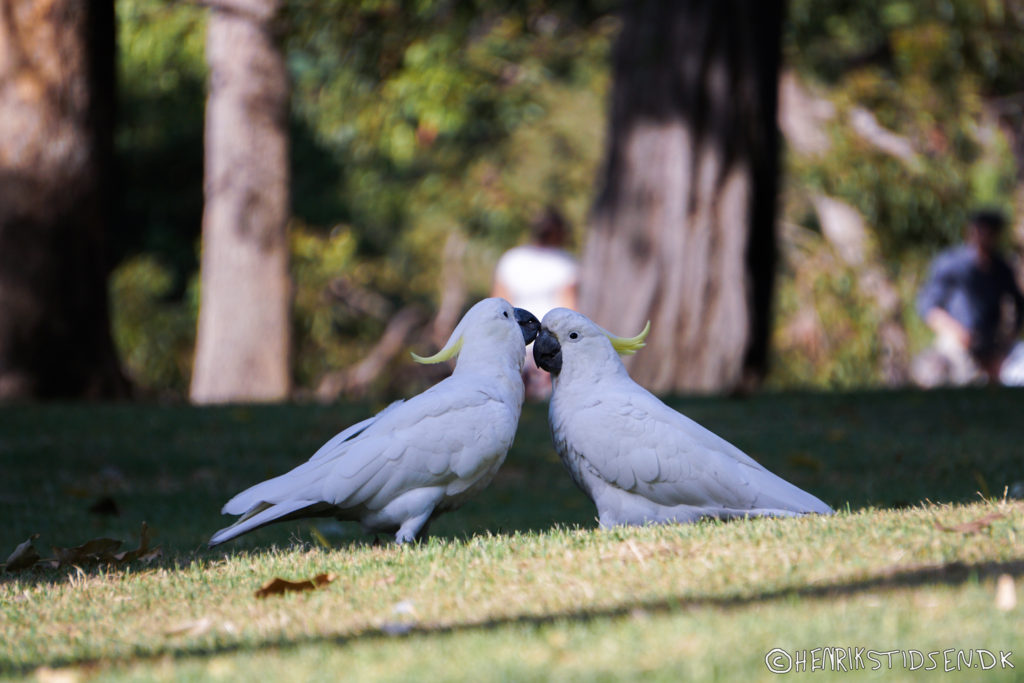 Cockatoos playing
