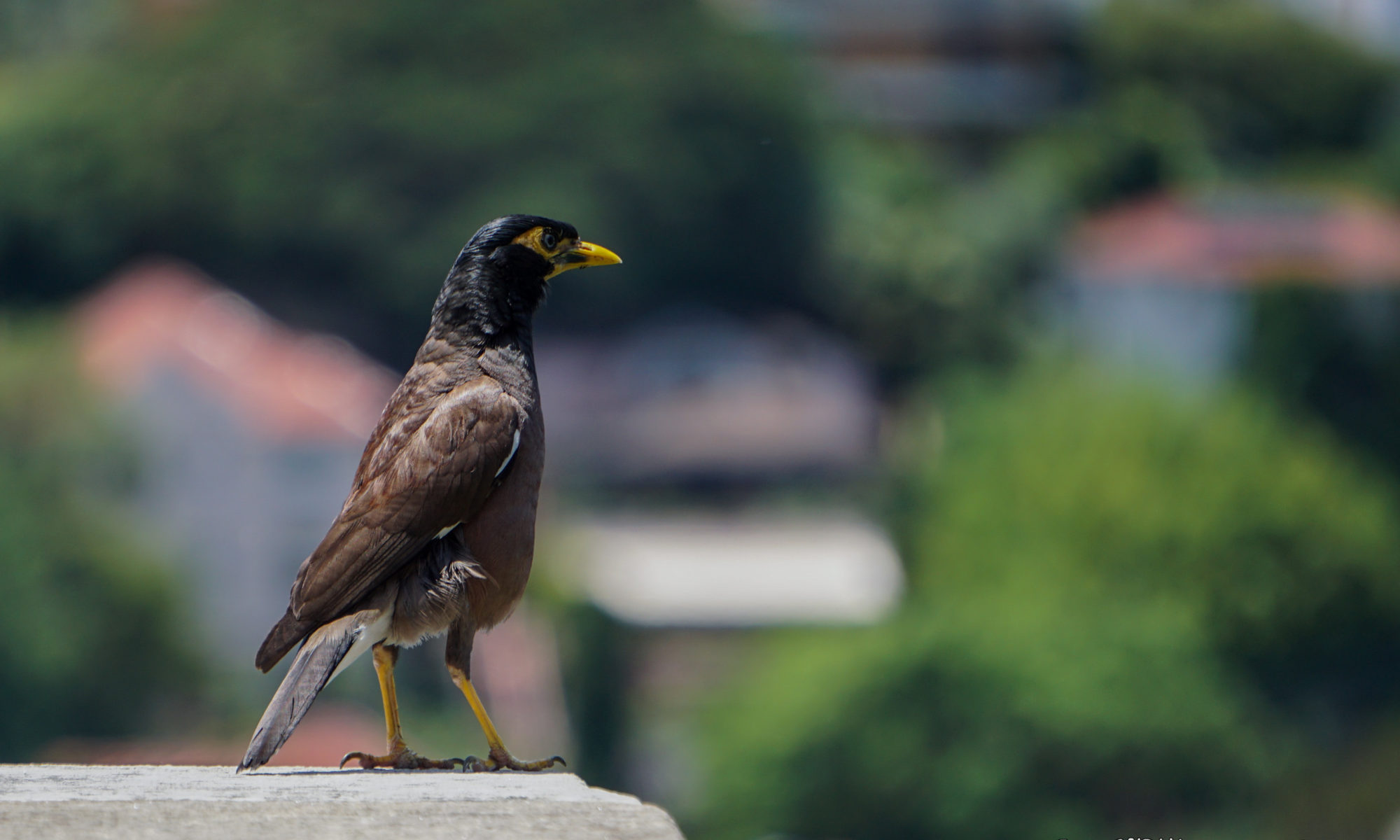 Common Myna enjoying the view