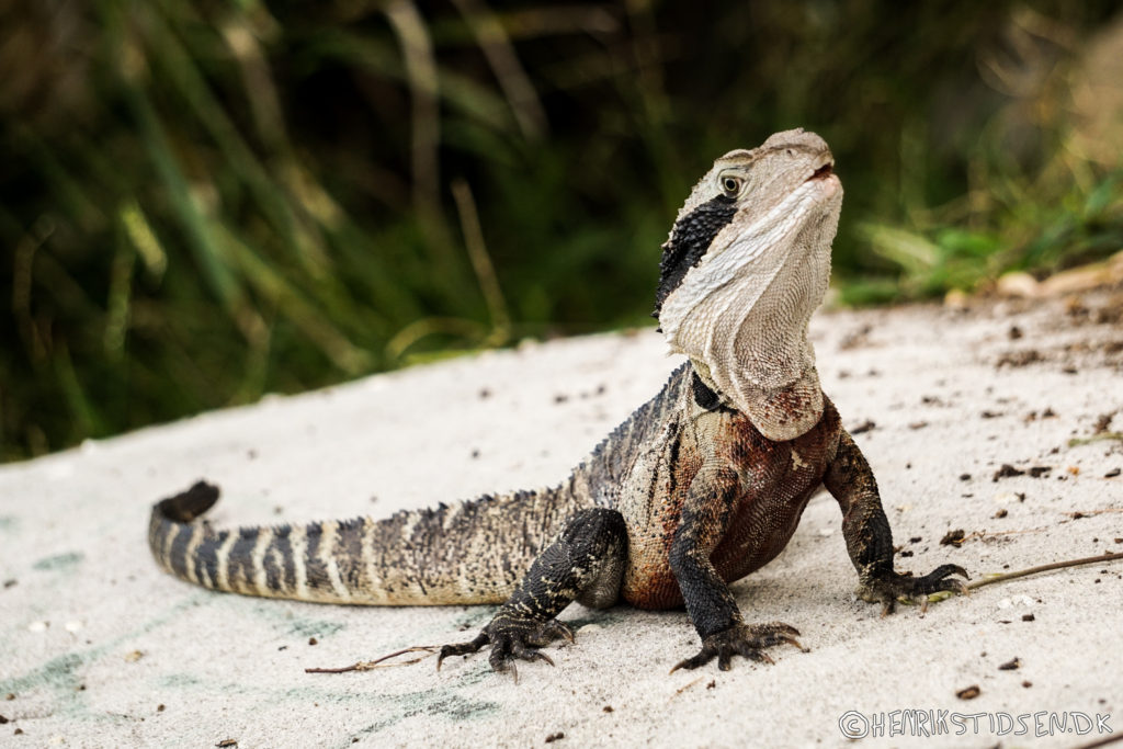 Water dragon in Manly, Sydney