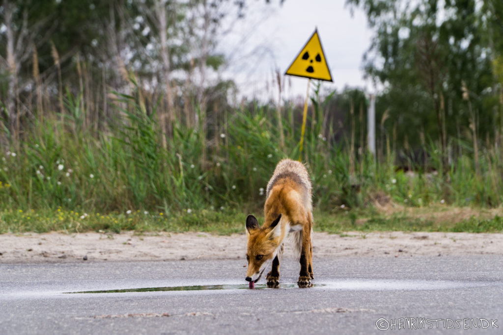 The famous fox Simon in front of a radiation warning sign